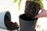 Como replantar suas plantinhas