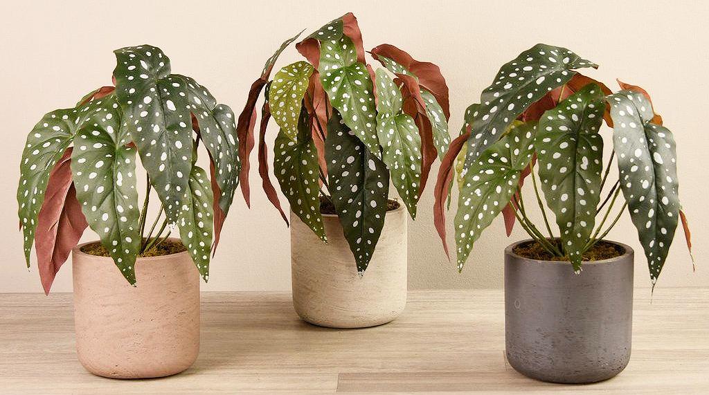 três vaso com begonia maculata
