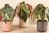 begonia-maculata-casa.com-pinterest-3