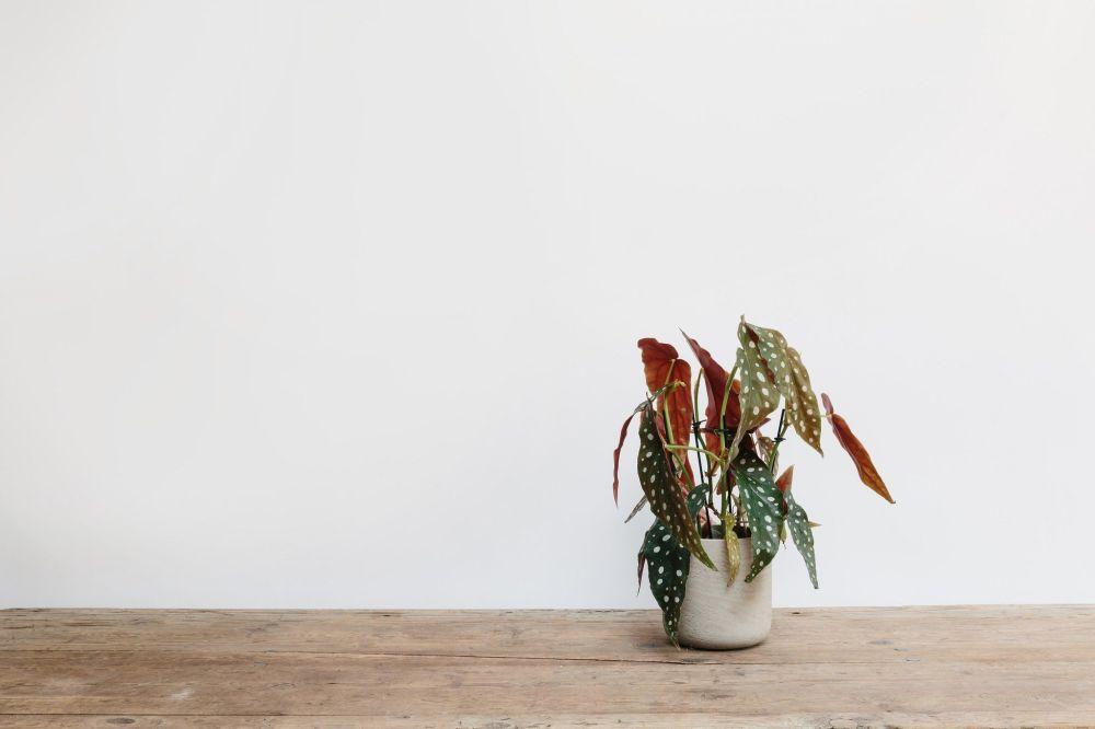 vaso com begonia maculata
