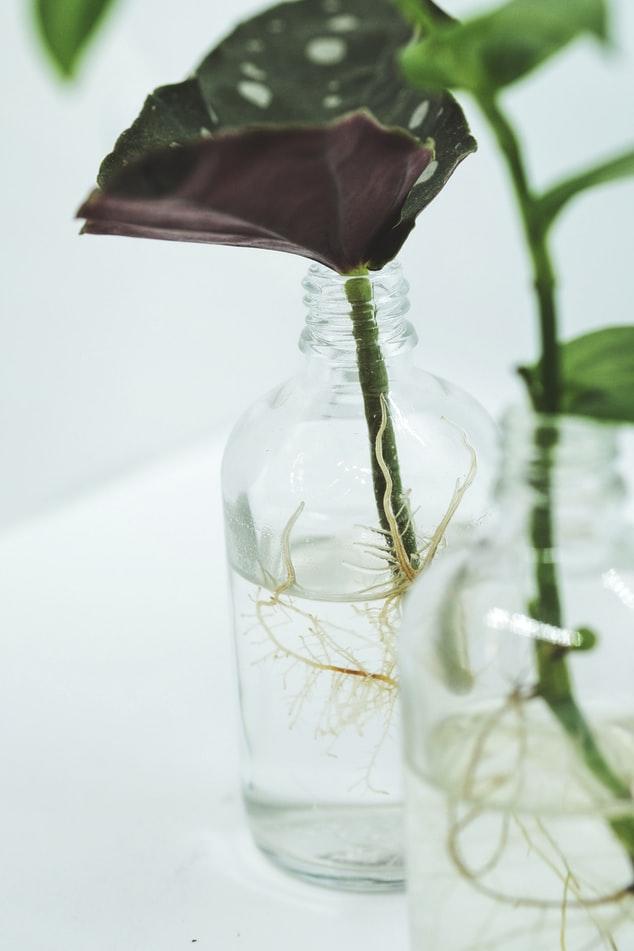 muda de begonia maculuta em jarro com água