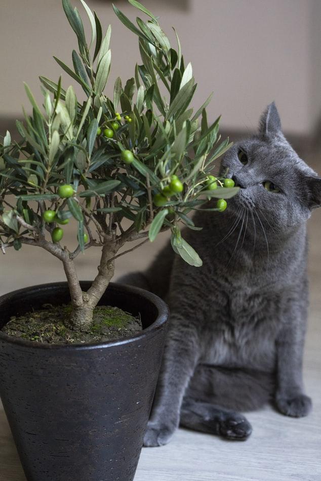 Gato cinza cheirando uma planta com frutinhos