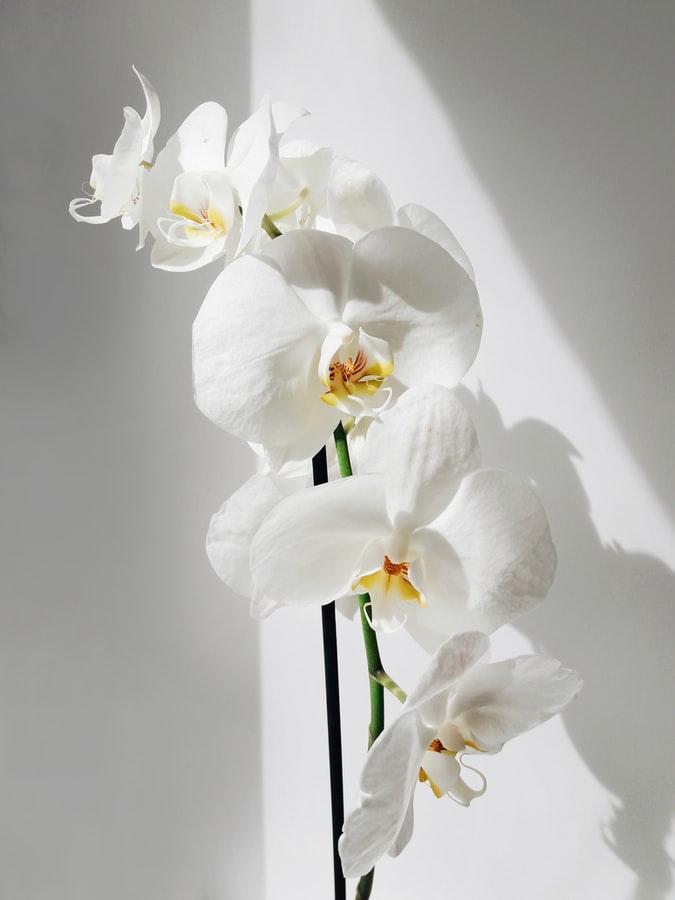Qual a melhor orquídea para apartamento