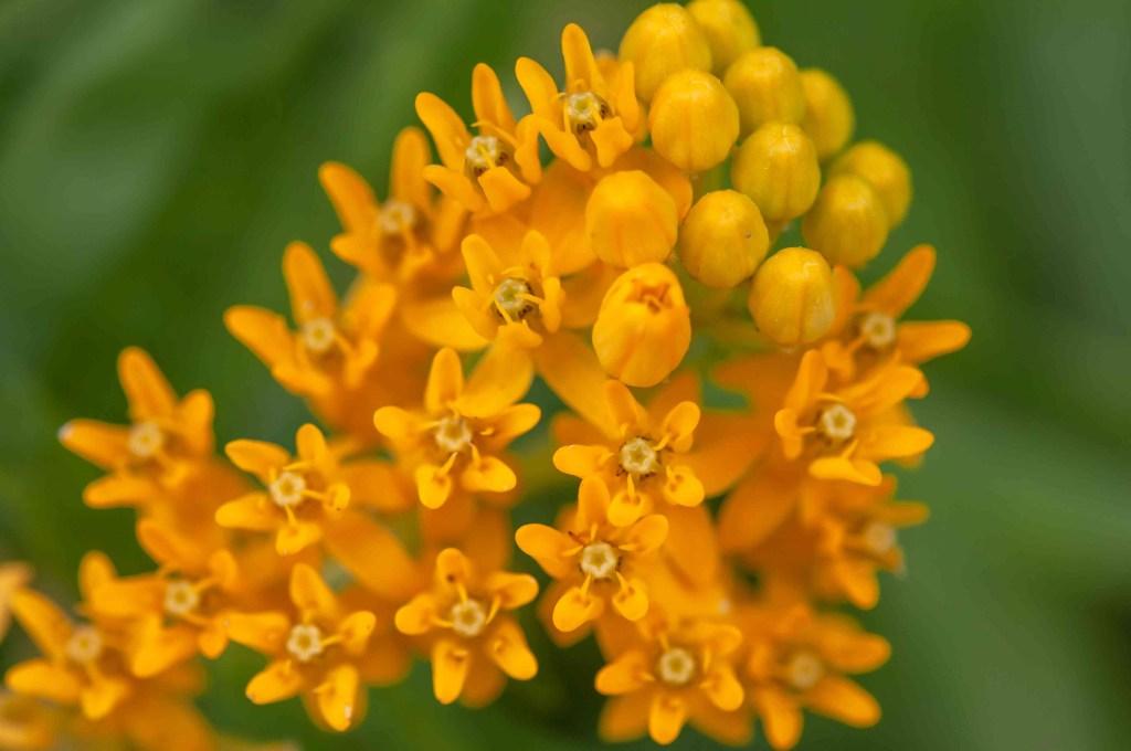 30 flores alaranjadas para esquentar seu coração thespruce 08 Vision Art NEWS