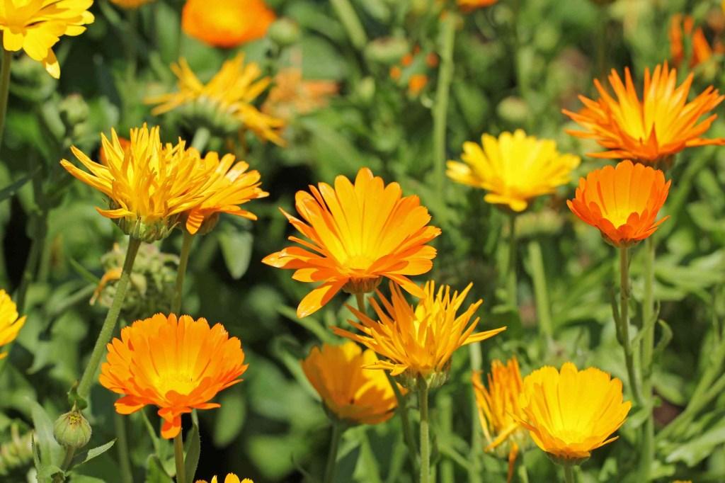 30 flores alaranjadas para esquentar seu coração thespruce 11 Vision Art NEWS