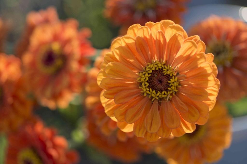 30 flores alaranjadas para esquentar seu coração thespruce 14 Vision Art NEWS