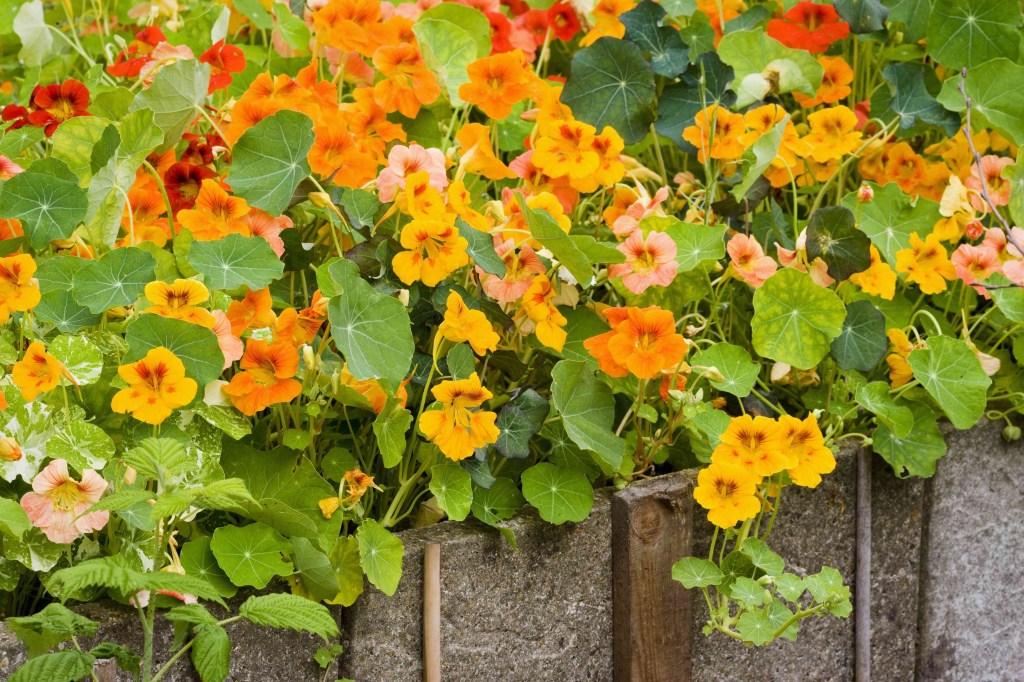 30 flores alaranjadas para esquentar seu coração thespruce 17 Vision Art NEWS