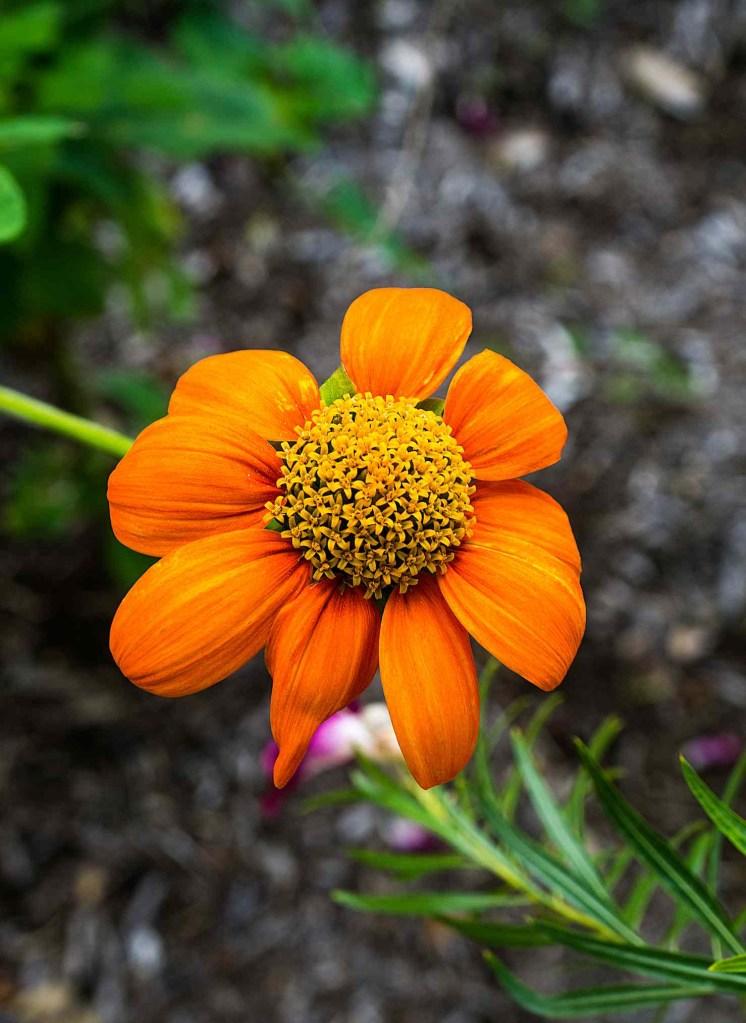 30 flores alaranjadas para esquentar seu coração thespruce 19 Vision Art NEWS