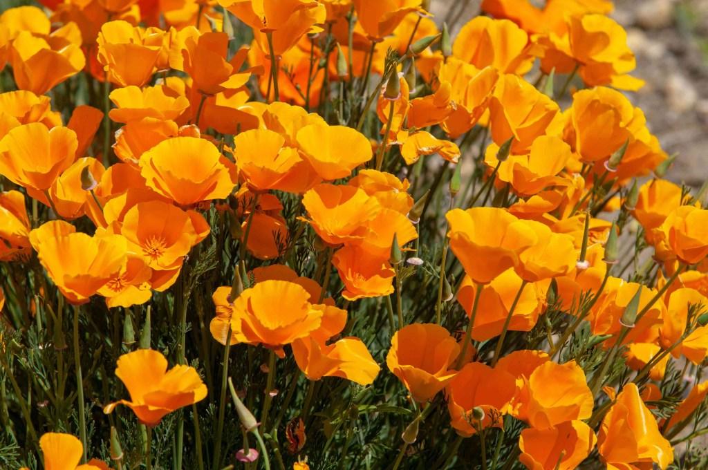 30 flores alaranjadas para esquentar seu coração thespruce 23 Vision Art NEWS