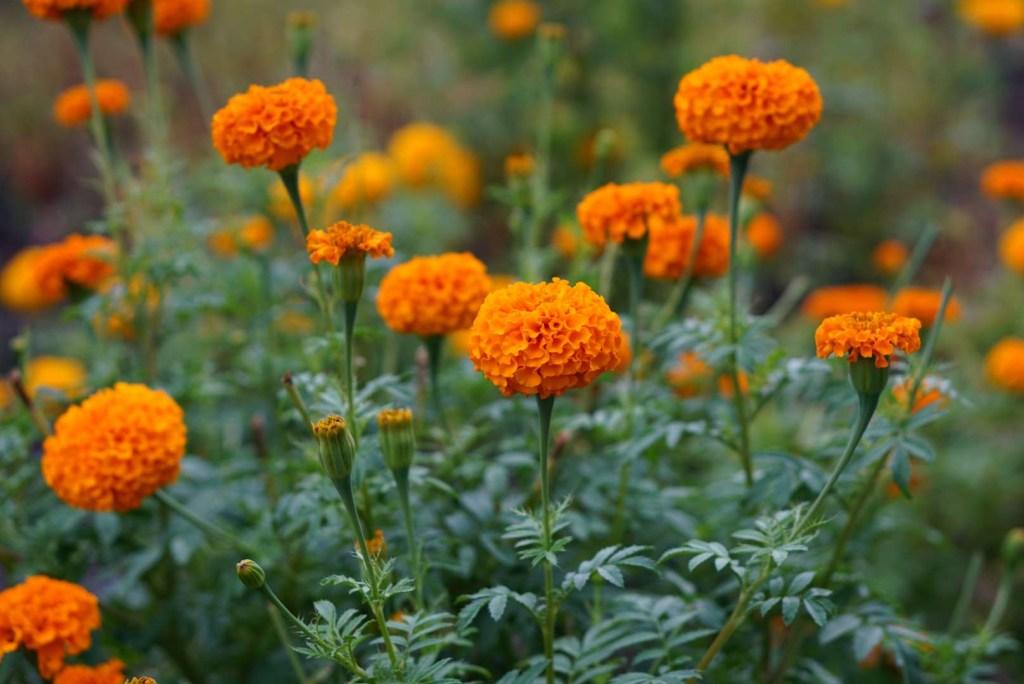 30 flores alaranjadas para esquentar seu coração thespruce 27 Vision Art NEWS