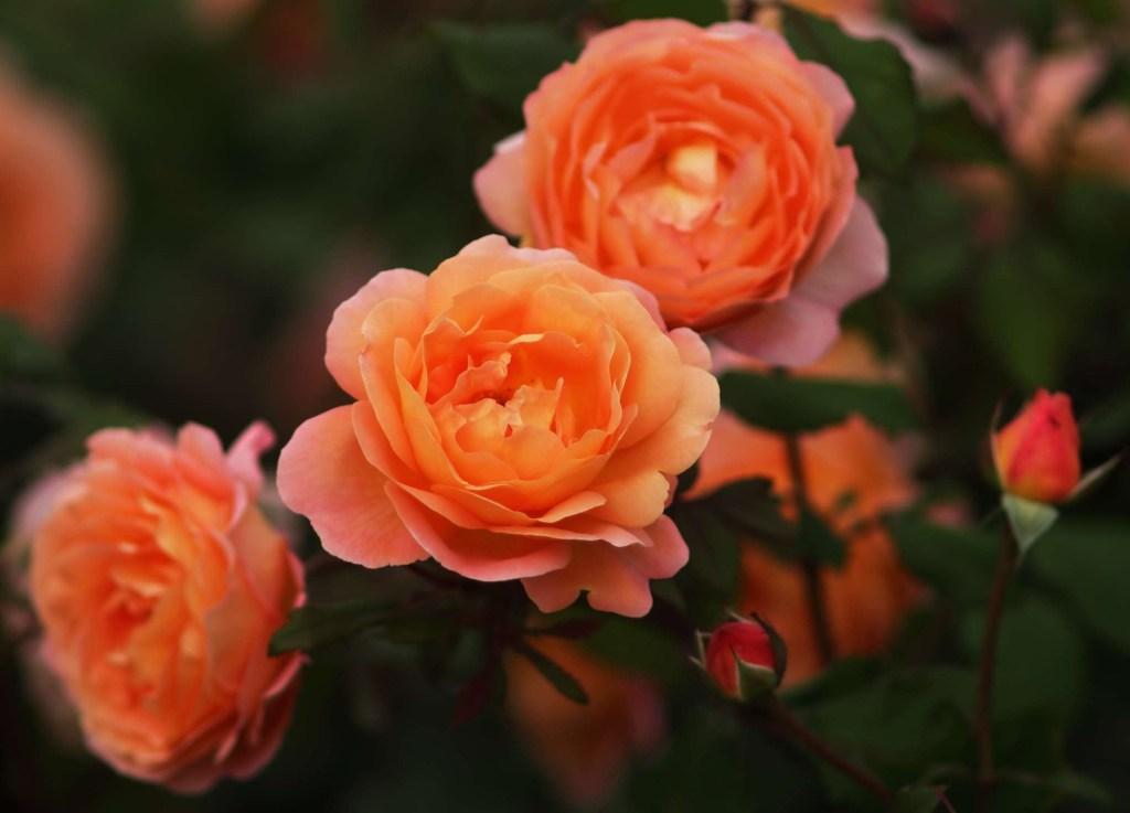 30 flores alaranjadas para esquentar seu coração thespruce 28 Vision Art NEWS