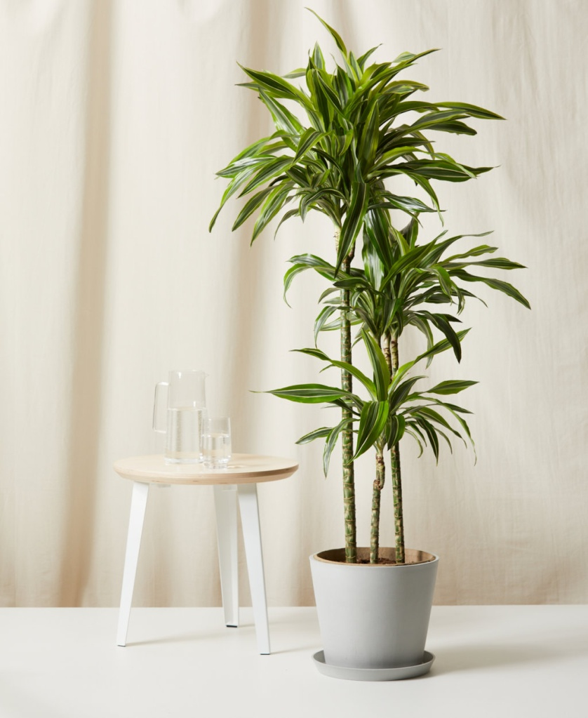 plantas sombra jardins jardinagem bloomscape dracena Vision Art NEWS